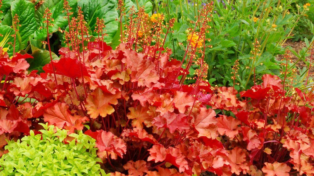 Гейхера - богатое украшение сада