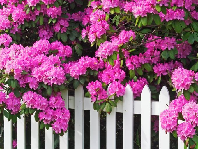Декоративные кустарники привносят в пеструю палитру оттенков растительных композиций яркие штрихи и выступают в качестве эффектных солитеров.
