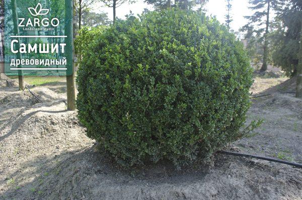 Самшит вечнозелёный древовидный