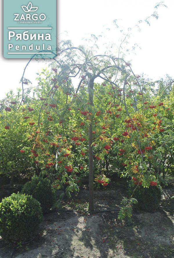 Рябина обыкновенная 'Pendula'